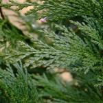 Cupress leylandii
