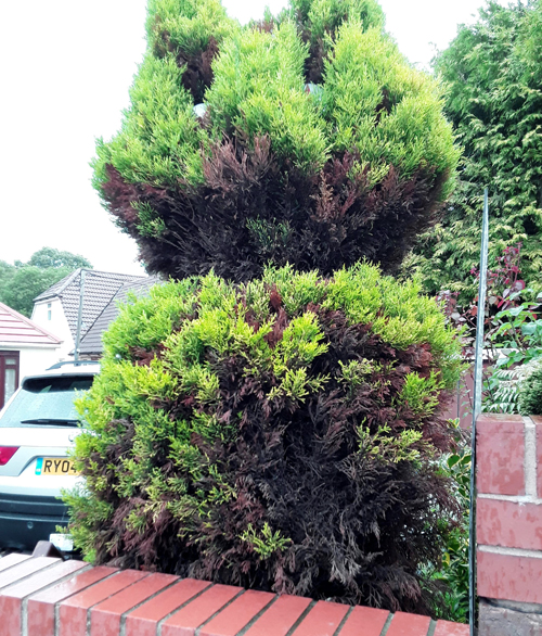 dying cat shaped bush