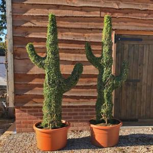 Topiary Cacti in Ligustrum Plant at over 2m high