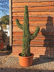 Topiary Cactus standing over 200cm tall in Ligustrum Plant