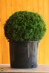 Bespoke topiary-Buxus sempervirens-Ball-Tree-Agrumi
