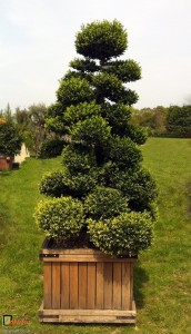 Bespoke topiary-Ilex crenata-Cloud Tree-Tree-Agrumi 4