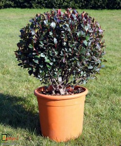 Bespoke topiary-Photinia Little Red Robin-Ball-Tree-Agrumi 5
